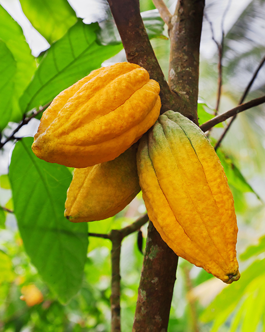 1500BCE-Cacao-pods