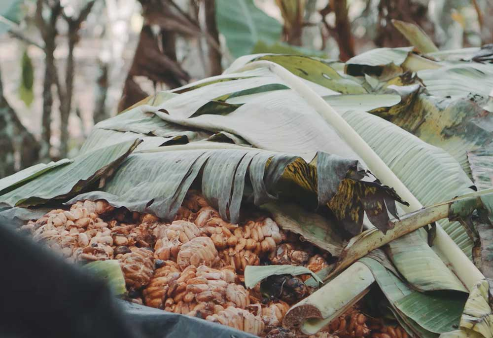 Cocoa pods in a pile on a cocoa farm